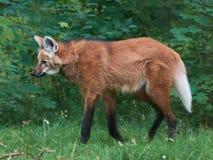 Maned волк (brachyurus Chrysocyon) Стоковая Фотография