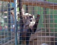 Maned Affe in einem Käfig Lizenzfreie Stockfotos