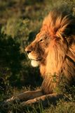Maned African Lion In Africa Royalty Free Stock Photos