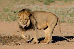 maned afrikansk svart lion Arkivfoton