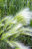 The maned barley (Latin name Hordeum jubatum). Is an attractive plant of the family Gramineae. A group of plants Royalty Free Stock Photo