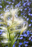 The maned barley (Latin name Hordeum jubatum). A group of spikelets of a plant close up Royalty Free Stock Photography