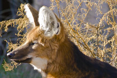 Maned fox. Captured Close-up resting stock photography