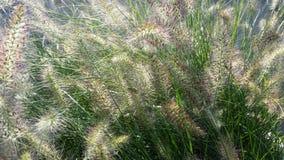 Maned korn för blommaHordeumjubatum Arkivbild