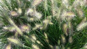 Maned korn för blommaHordeumjubatum Arkivfoton