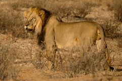 Maned Lion Royalty Free Stock Image