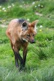 maned wolf Arkivbilder