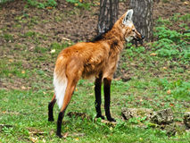 Maned wolf. Photo of maned wolf in wild nature Royalty Free Stock Photography