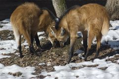 Maned wolf. Stock Photos
