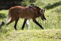 Maned wolf. The Maned Wolf (Chrysocyon brachyurus) is the largest canid of South America, resembling a large fox with reddish fur Royalty Free Stock Image
