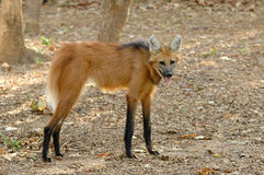 Maned wolf Royalty-vrije Stock Fotografie