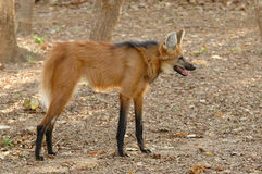 Maned wolf Royalty-vrije Stock Foto