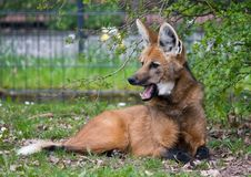 Maned wolf Royalty Free Stock Photos