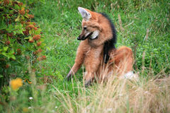 Maned Wolf Lizenzfreie Stockbilder