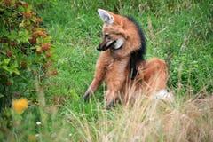 Maned wolf Royalty-vrije Stock Afbeeldingen