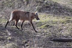 Maned wolf Stock Photo