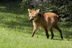 Maned wolf Royalty Free Stock Images