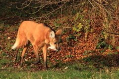 Maned wolf Stock Photography