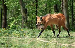 Maned Wolf Stock Foto's