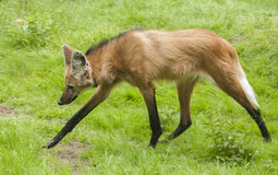 Maned wolf Royalty-vrije Stock Afbeelding