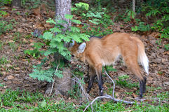 maned wolf Royaltyfria Foton