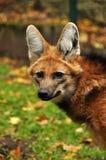maned wolf Arkivfoton