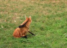 maned wolf Royaltyfri Fotografi
