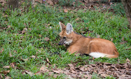 Maned Wolf Stock Foto