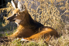 Maned Wolf. Captured resting in the warm sun on a winter day royalty free stock photo