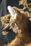 Maned Wolf. Captured Close-up resting royalty free stock images