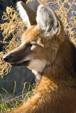 Maned Wolf. Captured Close-up resting stock images