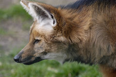 Maned wolf. Head of a maned wolf (Chrysocyon brachyurus) The Maned Wolf is the largest canid of South America, resembling a big fox with reddish fur Stock Photos