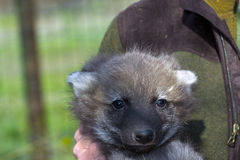 Maned wolf baby royalty free stock photo