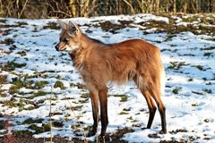 The Maned Wolf, Chrysocyon brachyurus is the largest canid of South America royalty free stock photos