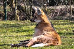 The Maned Wolf, Chrysocyon brachyurus is the largest canid of South America stock image