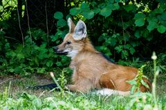 The Maned Wolf, Chrysocyon brachyurus is the largest canid of South America royalty free stock image