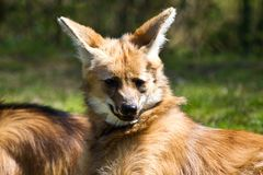 The Maned Wolf, Chrysocyon brachyurus is the largest canid of South America royalty free stock photography