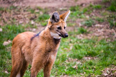 Maned wolf Chrysocyon brachyurus royalty free stock photo