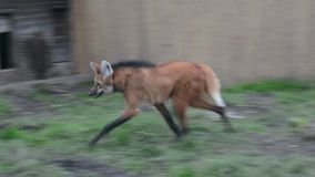 Maned wolf (Chrysocyon brachyurus) stock video
