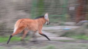 Maned wolf (Chrysocyon brachyurus) stock video footage