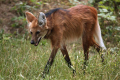 Maned wolf (Chrysocyon brachyurus). Stock Photos