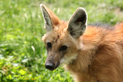 Maned wolf (Chrysocyon brachyurus). Stock Photo