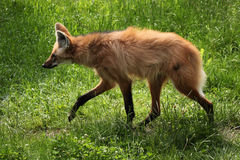 Maned wolf (Chrysocyon brachyurus). Royalty Free Stock Images