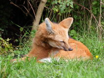 Maned wolf closeup view Stock Images