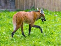 Maned Wolf (den Chrysocyon brachyurusen) Royaltyfri Foto