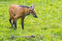 Maned Wolf (den Chrysocyon brachyurusen) Royaltyfria Foton