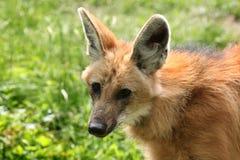 Maned Wolf (den Chrysocyon brachyurusen) Arkivfoto