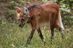 Maned Wolf (den Chrysocyon brachyurusen) Arkivfoton