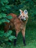 Maned Wolf (den Chrysocyon brachyurusen) Royaltyfri Bild