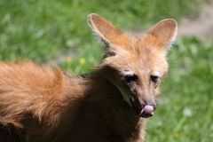 Maned wolf detail Royalty Free Stock Photo